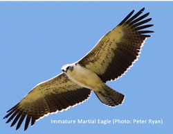 Image: Immature Martial Eagle (Photo: Peter Ryan)