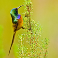 Fynbos endemic birds: Vulnerability and adaptation to land use and climate change. Photo of Orange-breasted Sunbird by Kevin Drummond-Hay