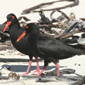 African Black Oystercatchers: Problems for youngsters? Photo: Jessie Walton