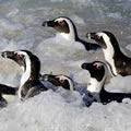 African Penguins: a looming crisis. Photo: Albert Froneman